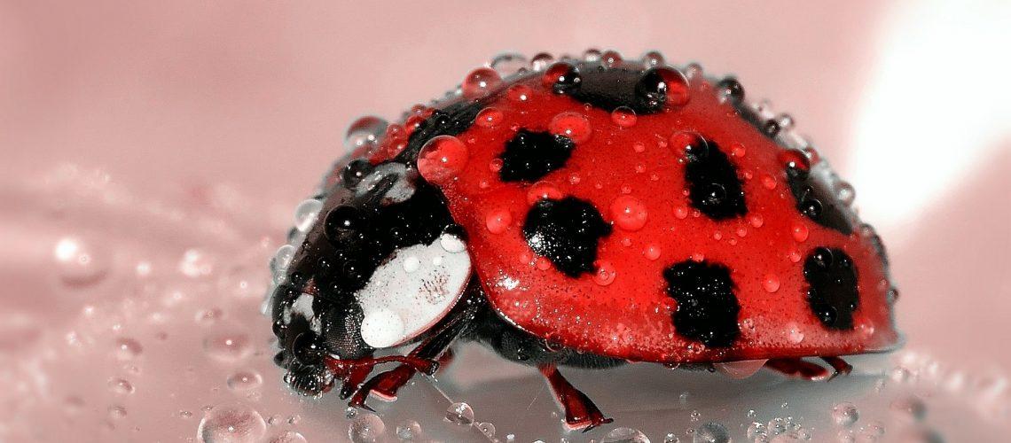ladybug-1036453_1920